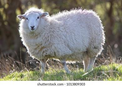 Shetland Sheep, Mainland, Shetland, Scotland, UK.