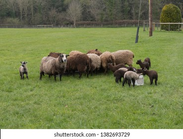 Shetland Sheep (Ovis aries) and Theie New Born Lambs in a Field on a Farm in Rural Devon, England, UK