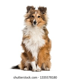 Shetland Sheepdog, 3 years and 6 months old, sitting in front of white background