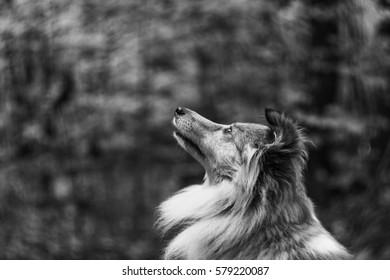 Shetland sheepdog dog looking up with blurry background.