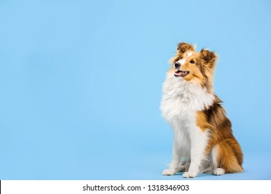 Shetland Sheepdog dog in the photo studio on the blue background