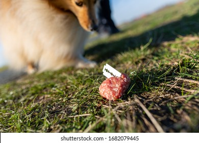 Shetland sheepdog in front of a dog bait