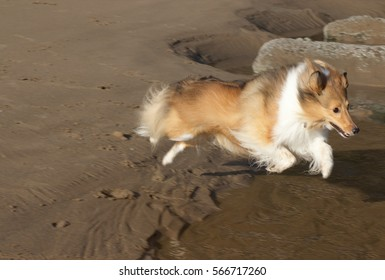 A Shetland Sheepdog jumping over some water on a sandy beach.