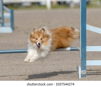 Shetland Sheepdog jumps over an agility hurdle in agility competition