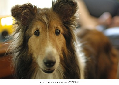 A Shetland Sheepdog looking directly at the camera