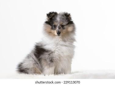 Shetland sheepdog portrait. Image taken in a studio.