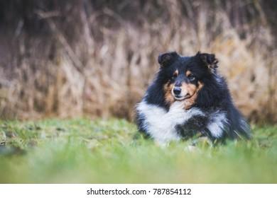 Shetland sheepdog posing outside.