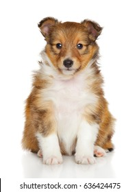 Shetland sheepdog puppy sits in front of white background
