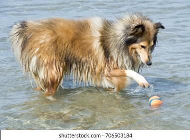 Shetland Sheepdog in the sea with ball