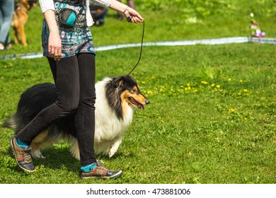 Shetland Sheepdog, Sheltie, Collie the dog is on a leash on the field next to the hostess