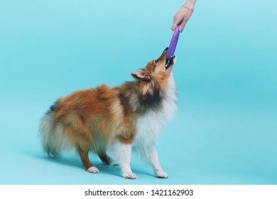 Shetland sheepdog sheltie dog posing with puller in the studio isolated on blue green background
