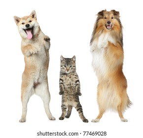 Shetland sheepdog, Shiba-inu and cat stand on hind legs on a white background