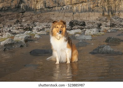 Shetland Sheepdog sitting on a sandy seach.