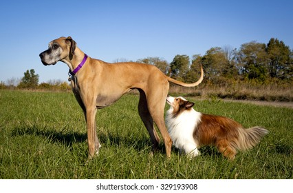 Shetland sheepdog smelling great Dane in field