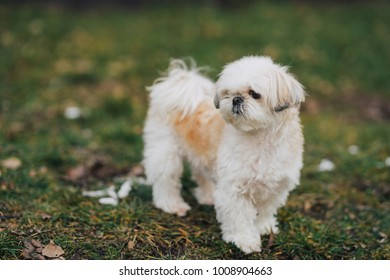 Shi tzu dog staying on the green grass. White dog looking for something on green grass in the park.