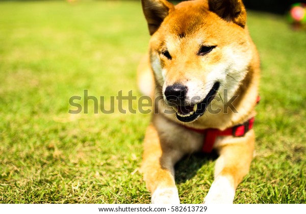 Shiba dog in the garden