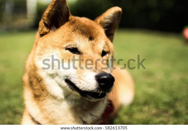 Shiba dog Inu