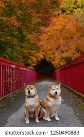 shiba inu autumn leaves
