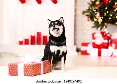 Shiba inu dog with gift box near christmas tree