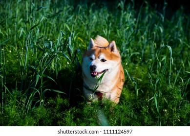 shiba inu dog in the high grass