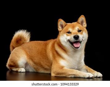 Shiba inu Dog  Isolated  on Black Background in studio
