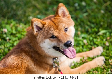 Shiba Inu dog lays down on grass