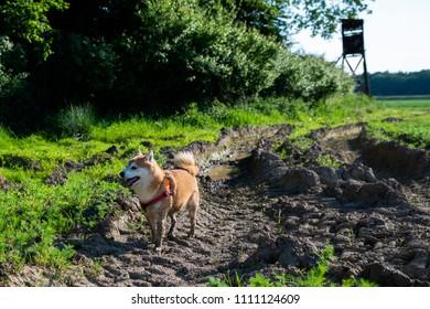 shiba inu dog in the mud