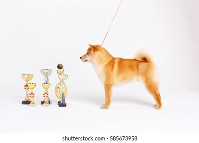 Shiba Inu dog on a white background with premium cups