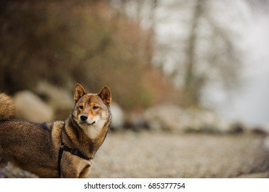 Shiba Inu dog portrait at rocky shore in foggy weather