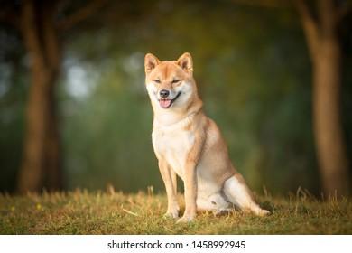 Shiba Inu dog purebred in the nature