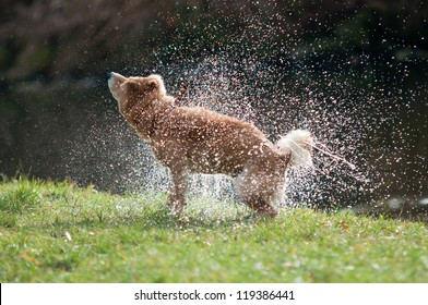 Shiba Inu dog shaking off water after bath in the river