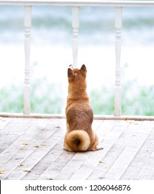 Shiba Inu dog sitting on wooden bridge