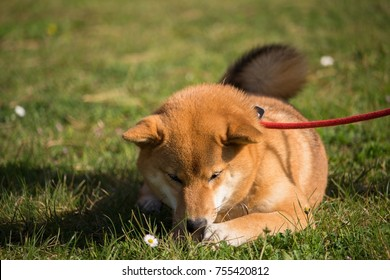 a shiba inu dog sleeping in the grass sniffing flowers