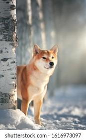 Shiba Inu dog in winter. Japanese dog