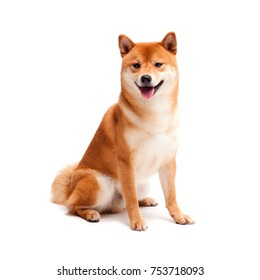 Shiba inu. Dogs are sitting. Red-haired Japanese dog. A happy domestic pet.