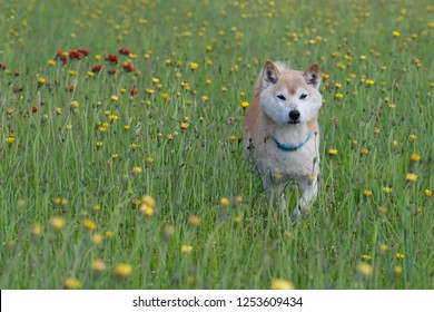 Shiba Inu in the field play