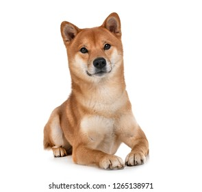 shiba inu in front of white background