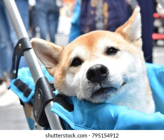 """""""Shiba Inu"""" Japanese dog is sitting in baby carriage, smiling softly and looking at someone playing with him"""