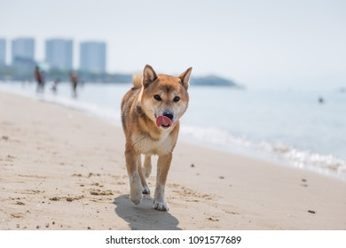 Shiba Inu play on the beach