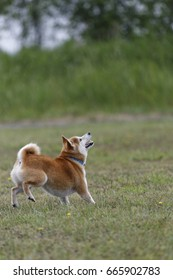 Shiba Inu playing in the field
