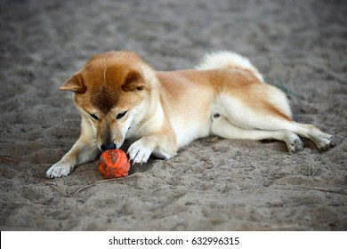 Shiba Inu playing with a rubber ball at a dog park