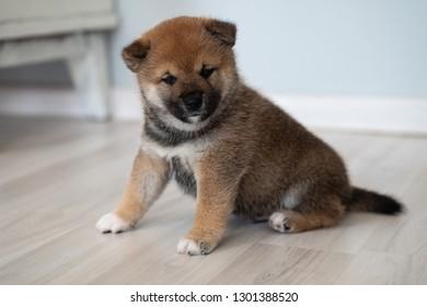 shiba inu puppies dog