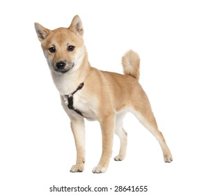 shiba inu puppy (4 months old) in front of white background