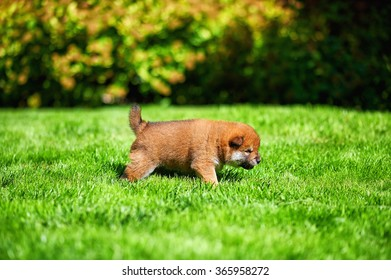 Shiba inu puppy in the garden