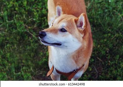 shiba inu puppy portrait on grass