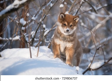 shiba inu puppy walking in the forest