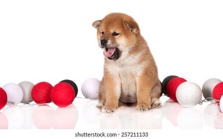 shiba inu puppy yawning