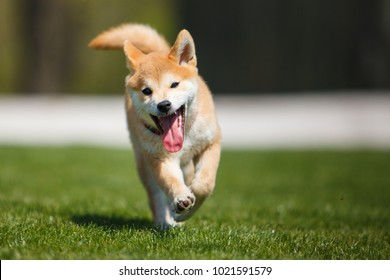 shiba inu running at you with blurred background
