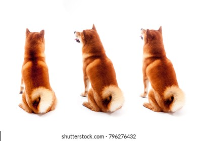 Shiba inu. Set of dogs sitting with their backs on a white background. Red-haired Japanese dog. A happy domestic pet.