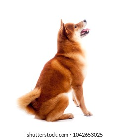 Shiba inu sits sideways on a white background. Red-haired Japanese dog. A happy domestic pet. A dog in profile looks up.